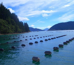 Green Lipped Mussel Farming
