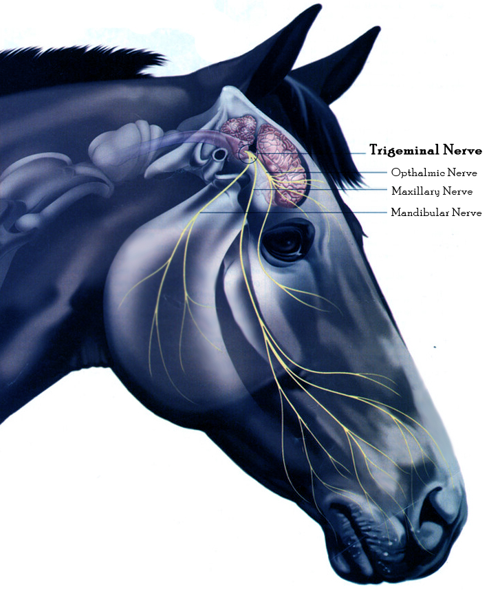 Trigeminal-Nerve-Horse